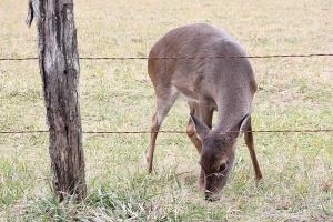 deer-in-cades-cove