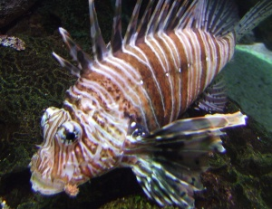 striped-fish-at-aquarium